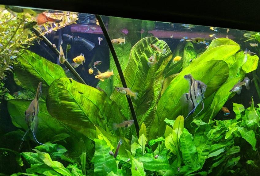 Echinodorus in acquario