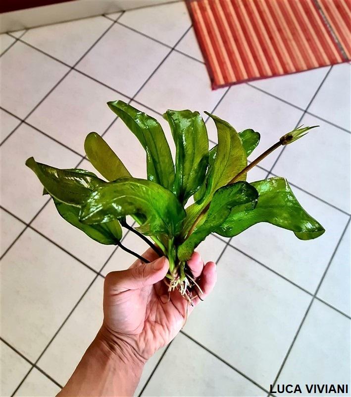 Echinodorus con infiorescenza e scapo fiorifero