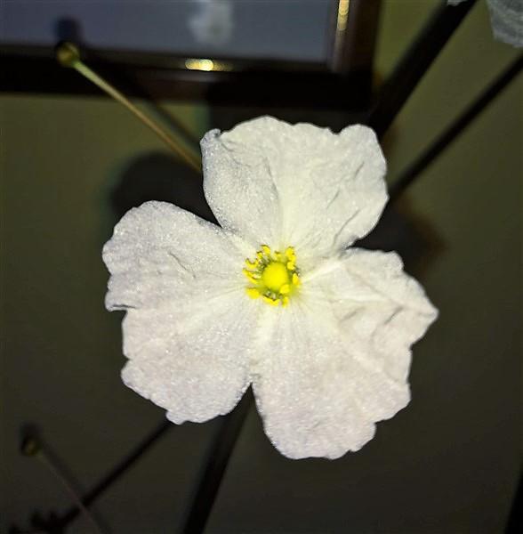 Fiore di Echinodorus