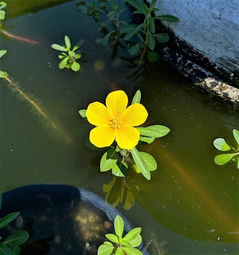 Fiore di Ludwigia nel laghetto