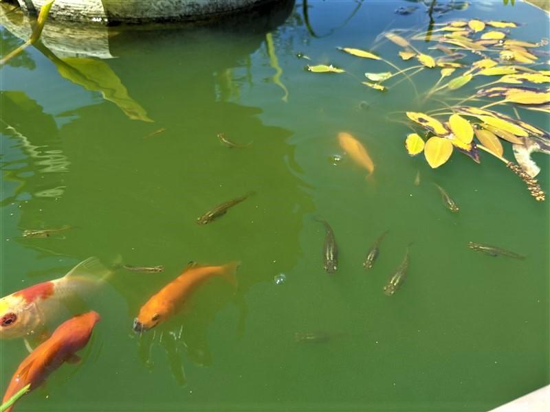 Gambusie e pesci rossi nel laghetto