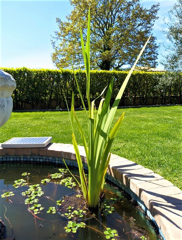 Iris palustre