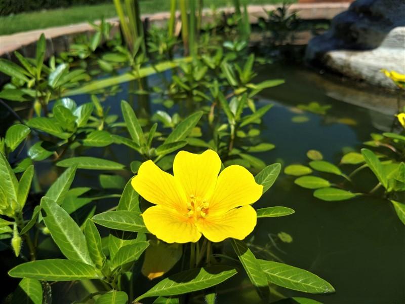 Fiore di Ludwigia